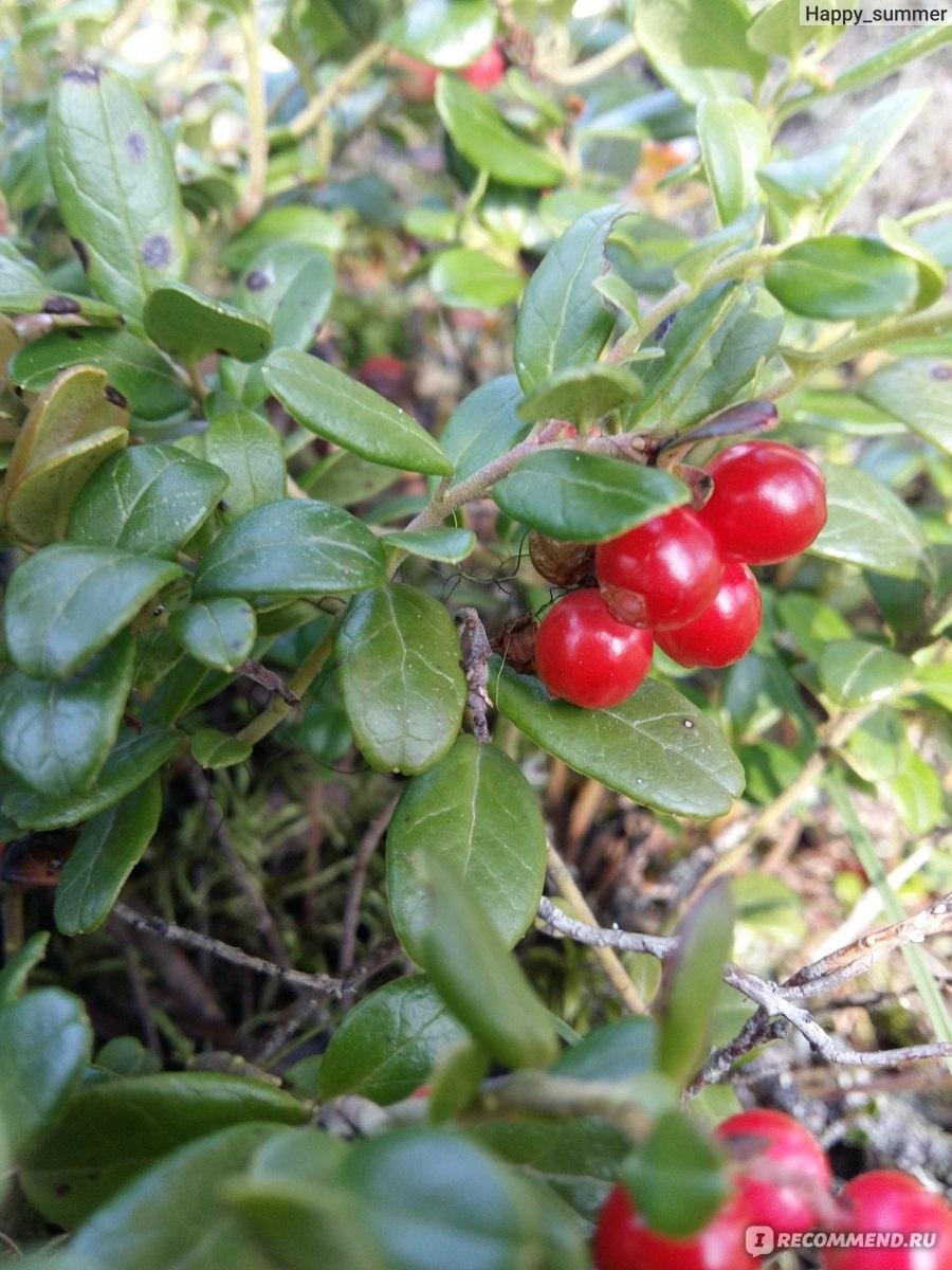 Брусника ягода фото и описание приложение создано