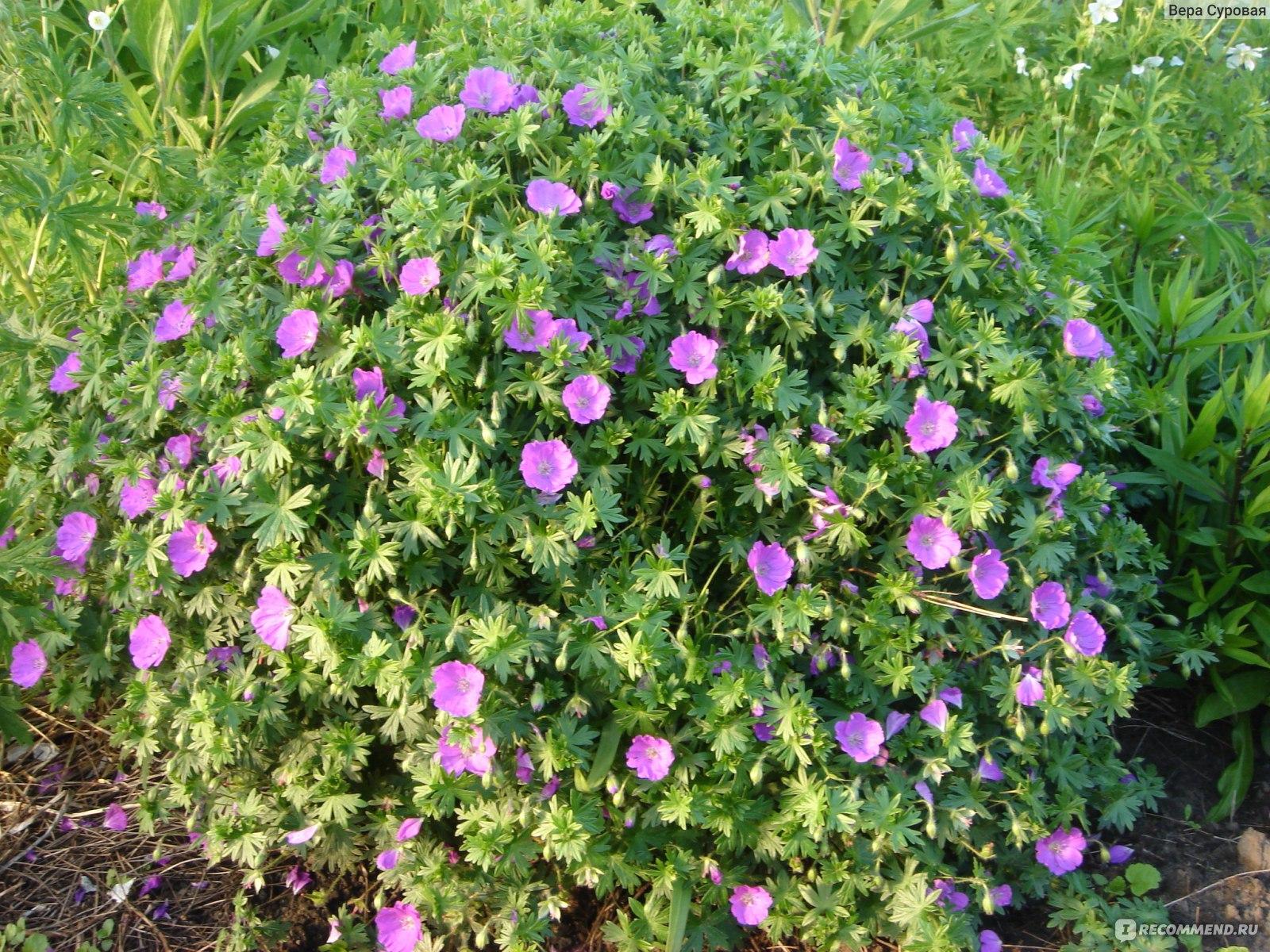 Герань садовая цветок фото