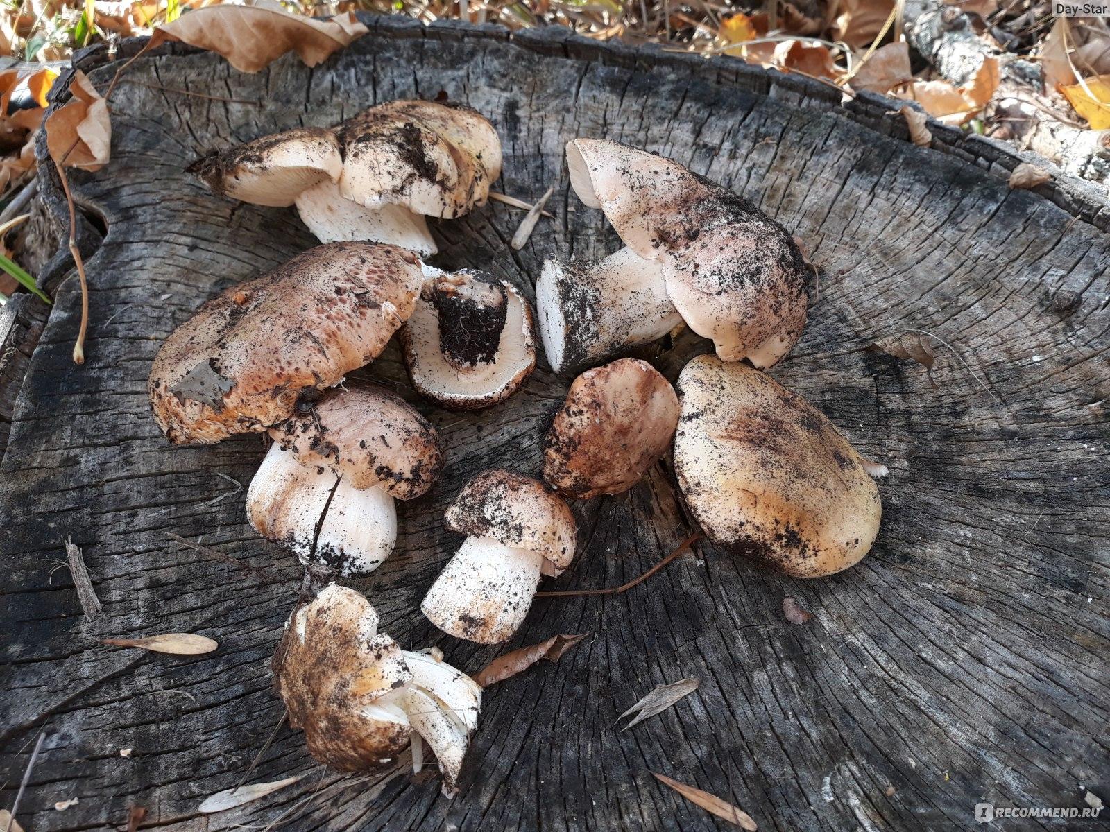 вам очень какие грибы растут в подмосковье фото подобной