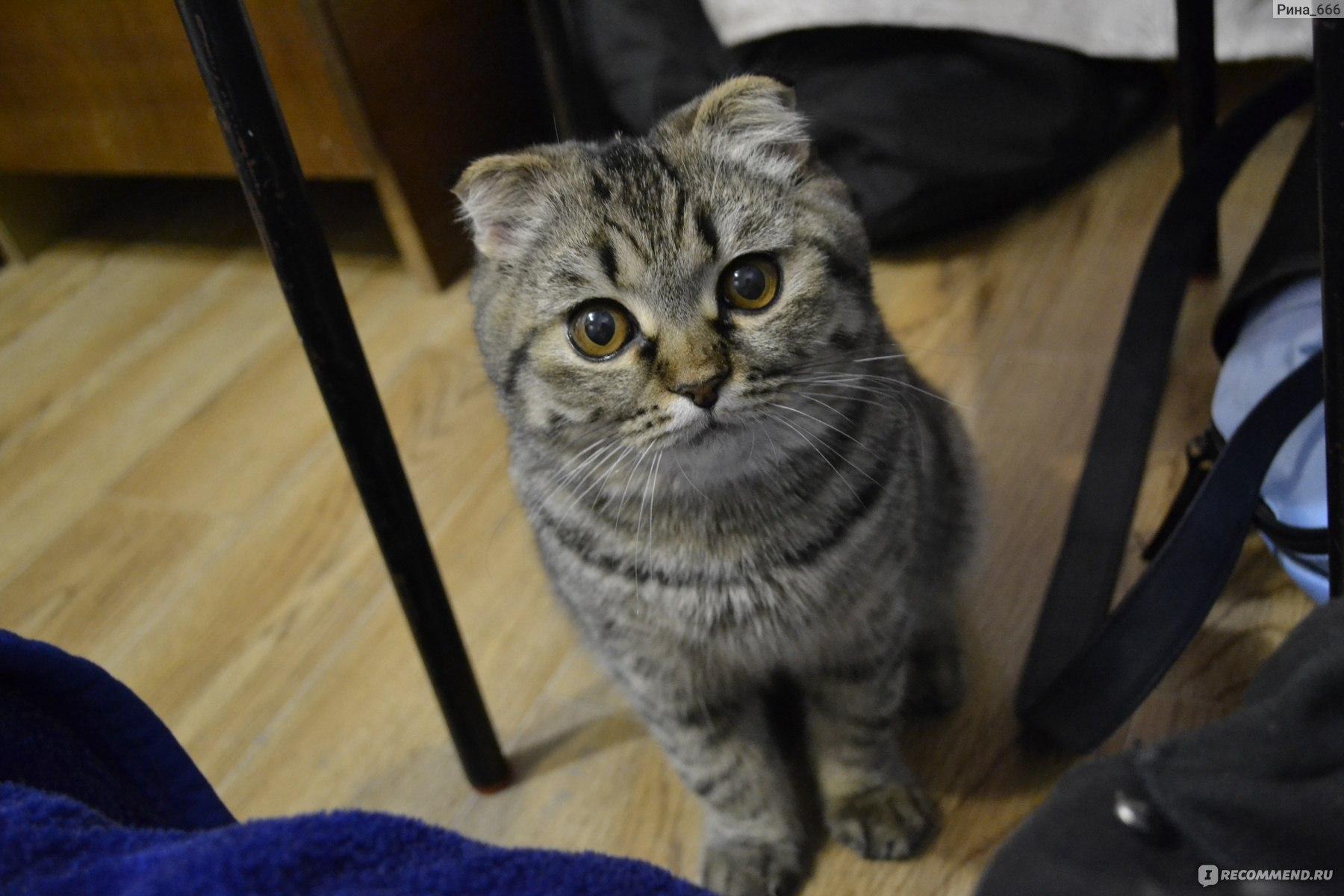 видео, имя и фото шотландской вислоухой кошки автору