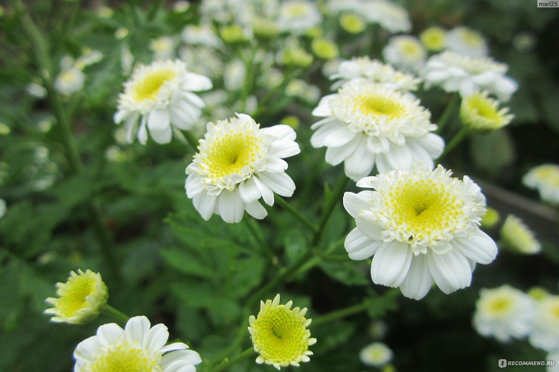 Девичий пиретрум цветок