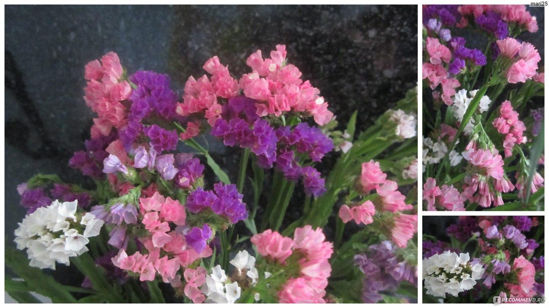 Сухоцветы статица выращивание