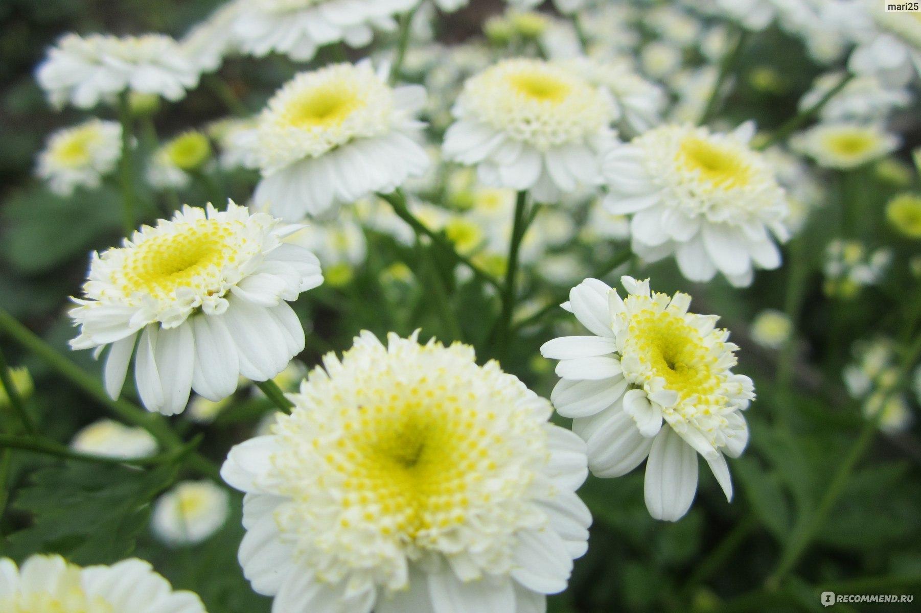 Цветы гелиптерум посадка и уход фото