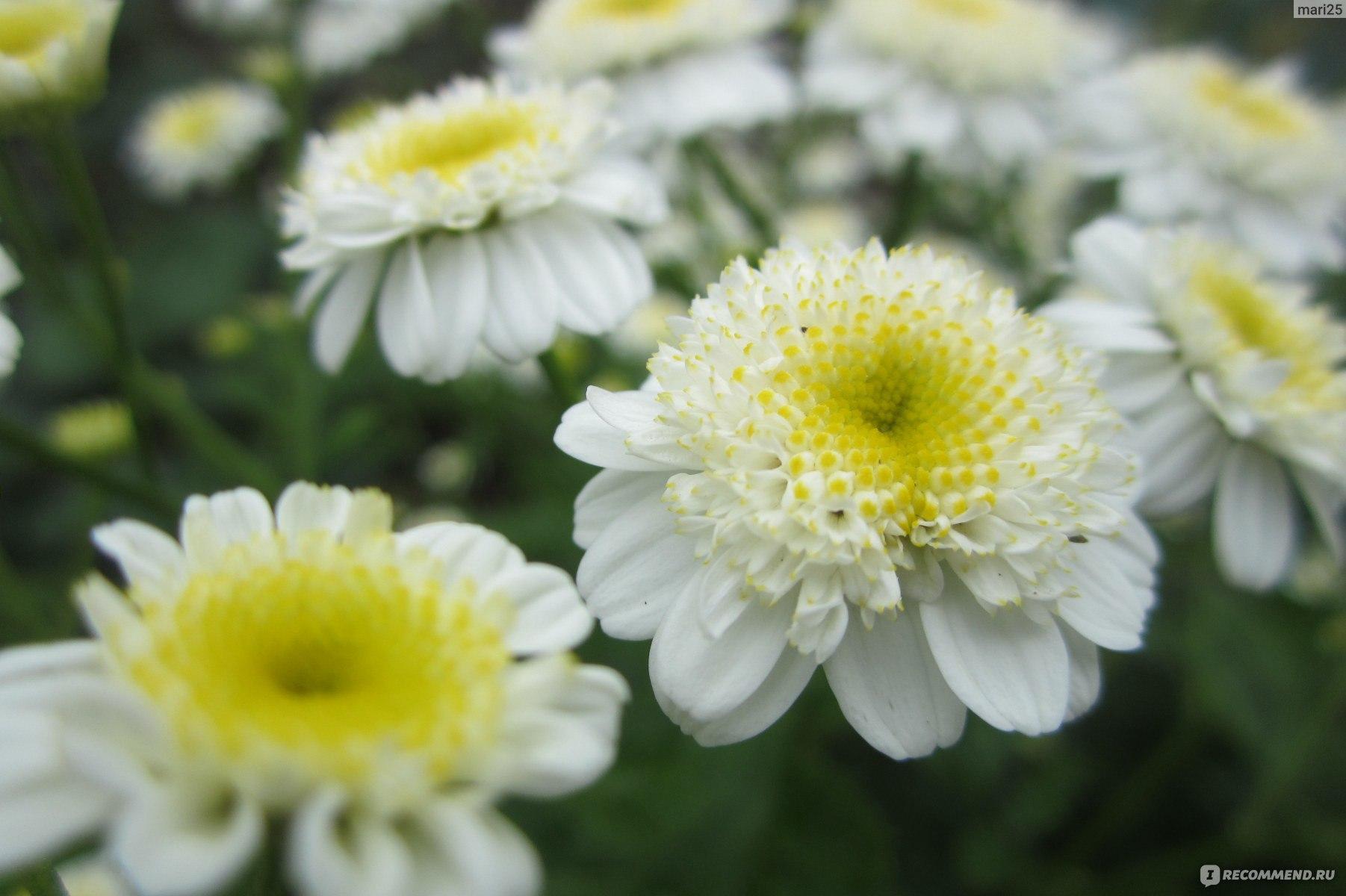 Пиретрум многолетний фото цветов