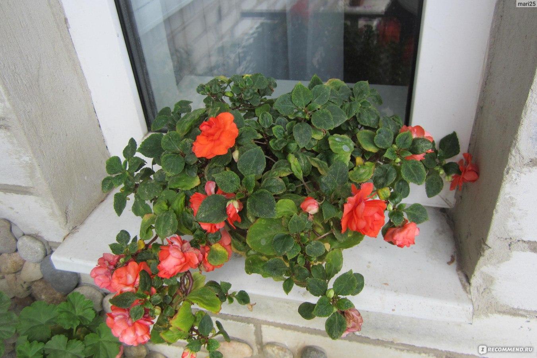 Бальзамин уход в домашних условиях, размножение, цветение 96