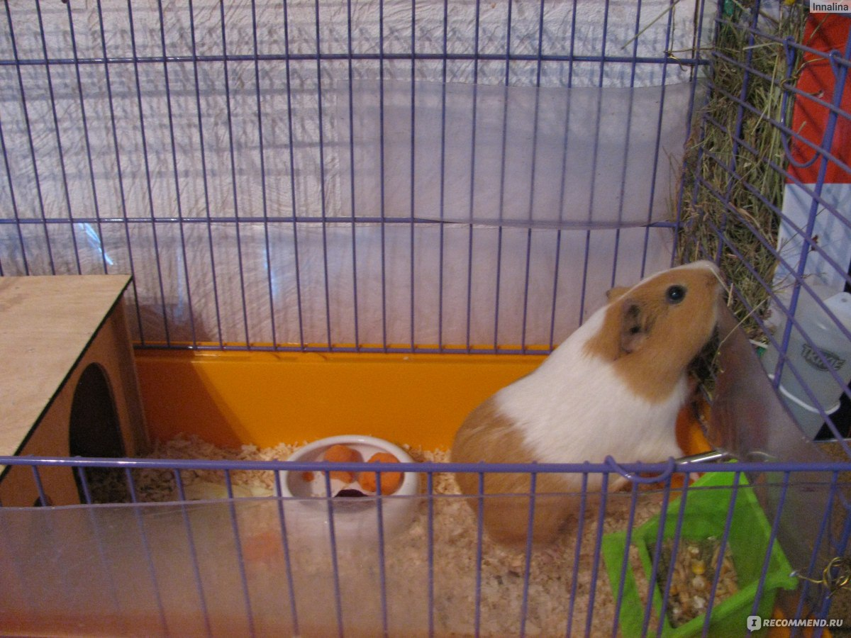 Фото с морскими свинками в домашних условиях