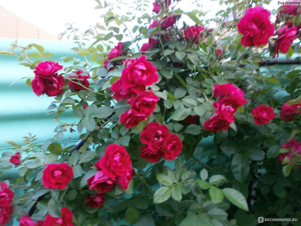 Роза файя лобби плетистая