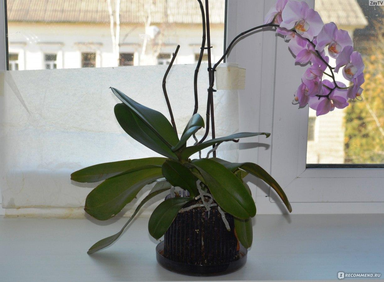 Воздушные корни орхидеи в домашних условиях 170
