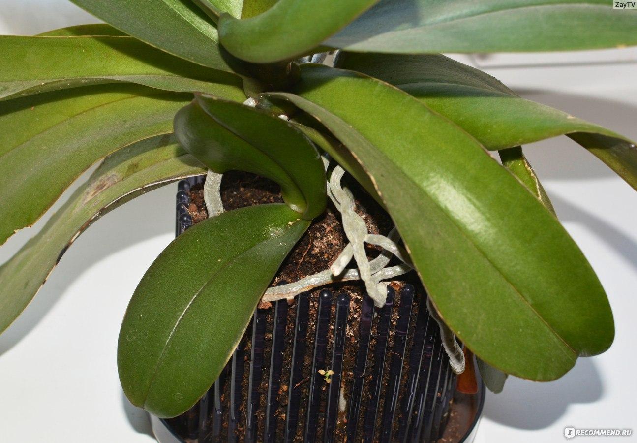 Как пересадить отросток орхидеи в домашних условиях пошаговое фото