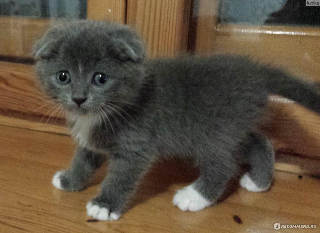Шотландские вислоухие взрослые кошки