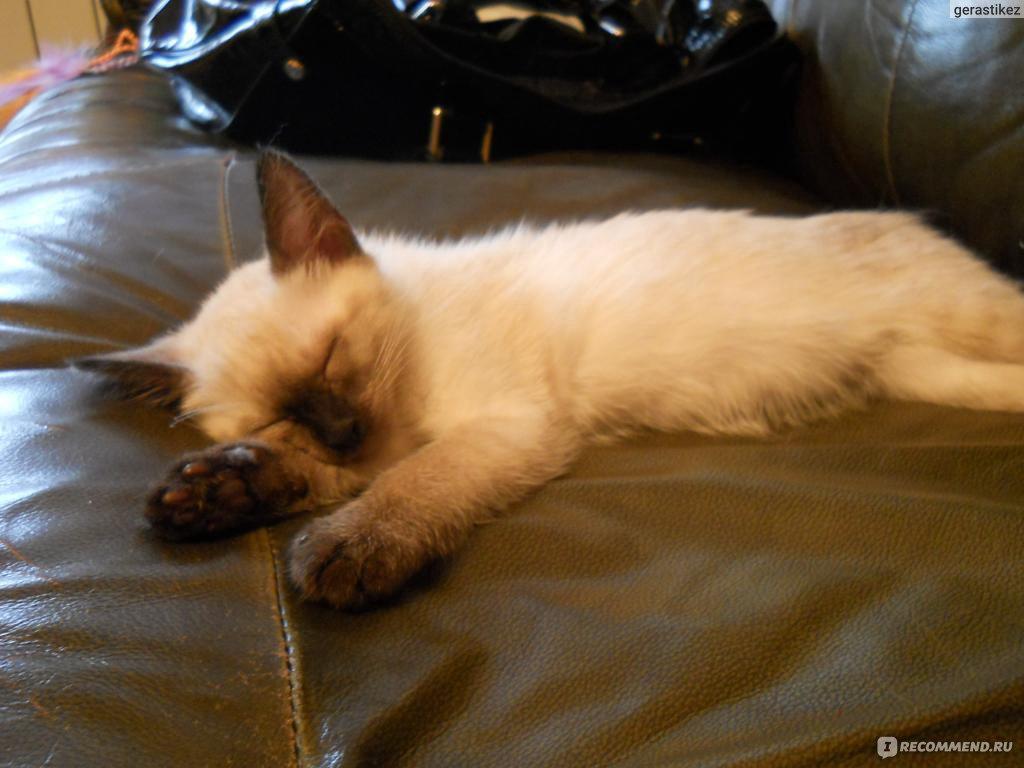 Тайский кот кастрировать или нет
