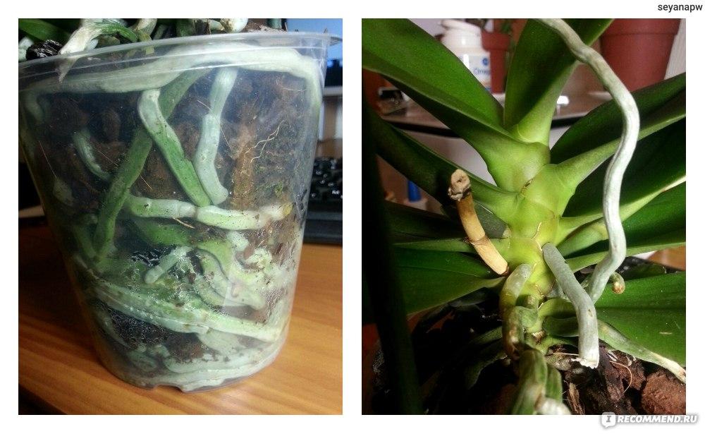 Пересадка орхидеи после покупки в домашних условиях