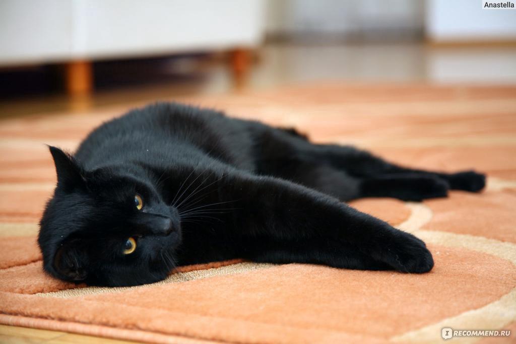 Бразильский породы кот
