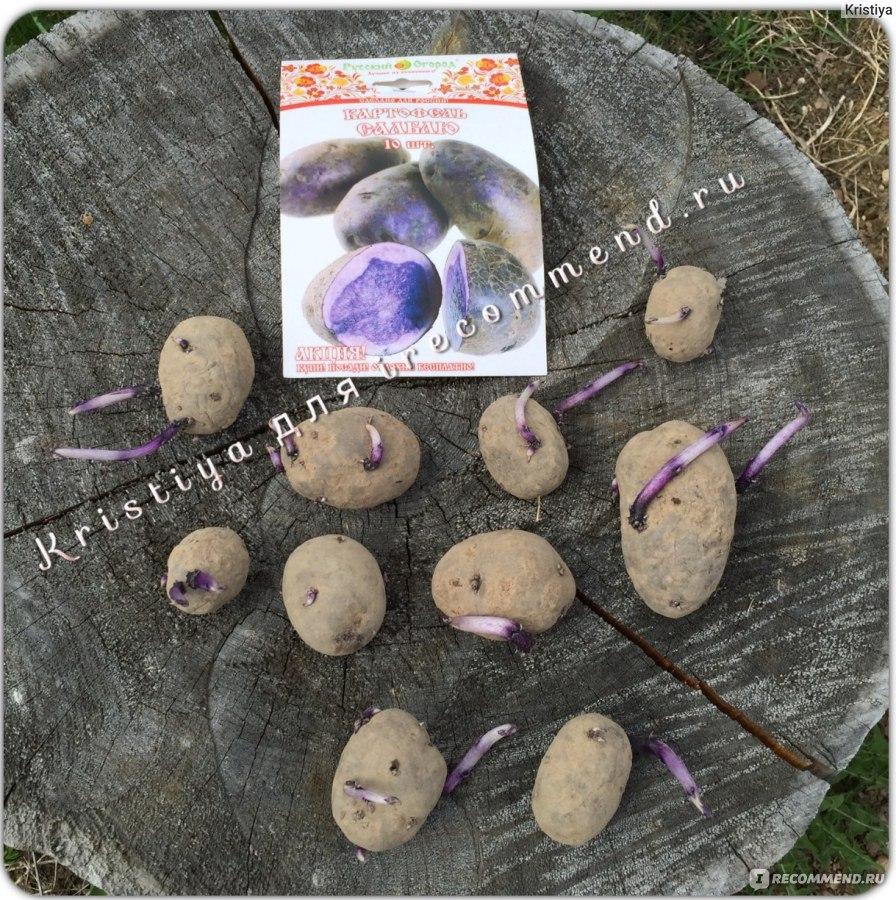 картофель салблю описание сорта фото отзывы
