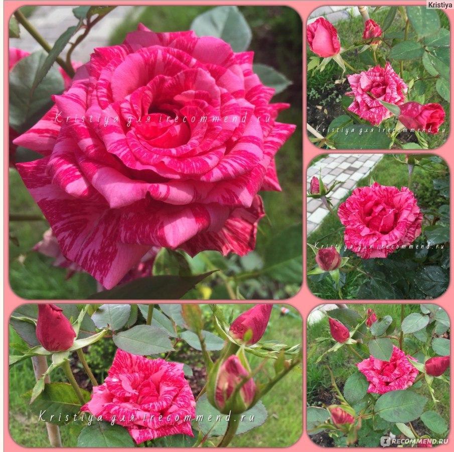 Роза интуишн