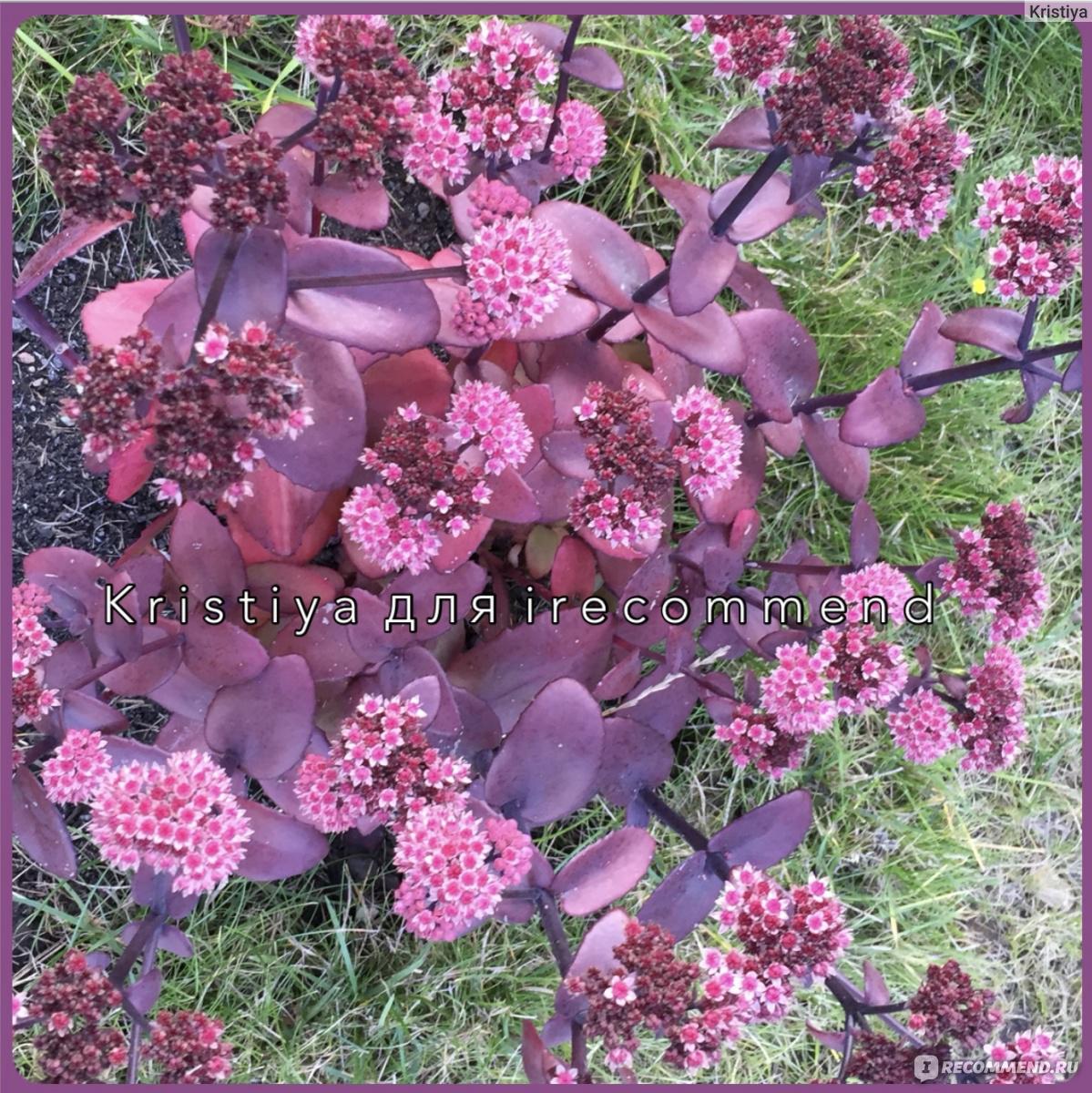 Цветы на даче очиток
