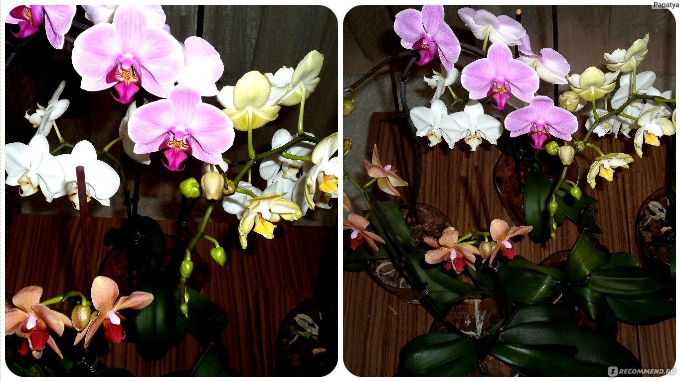 Как цветет орхидея фаленопсис в домашних условиях 991