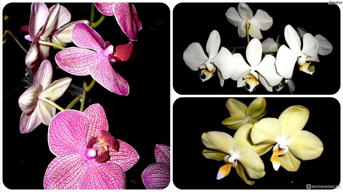 Орхидеи домашние в горшке. Уход в домашних условиях 27
