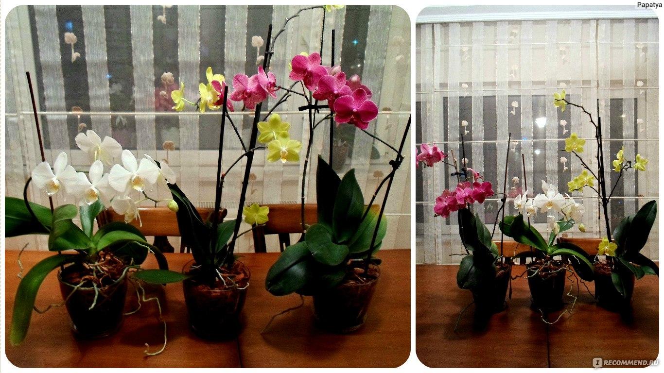 Орхидеи домашние в горшке. Уход в