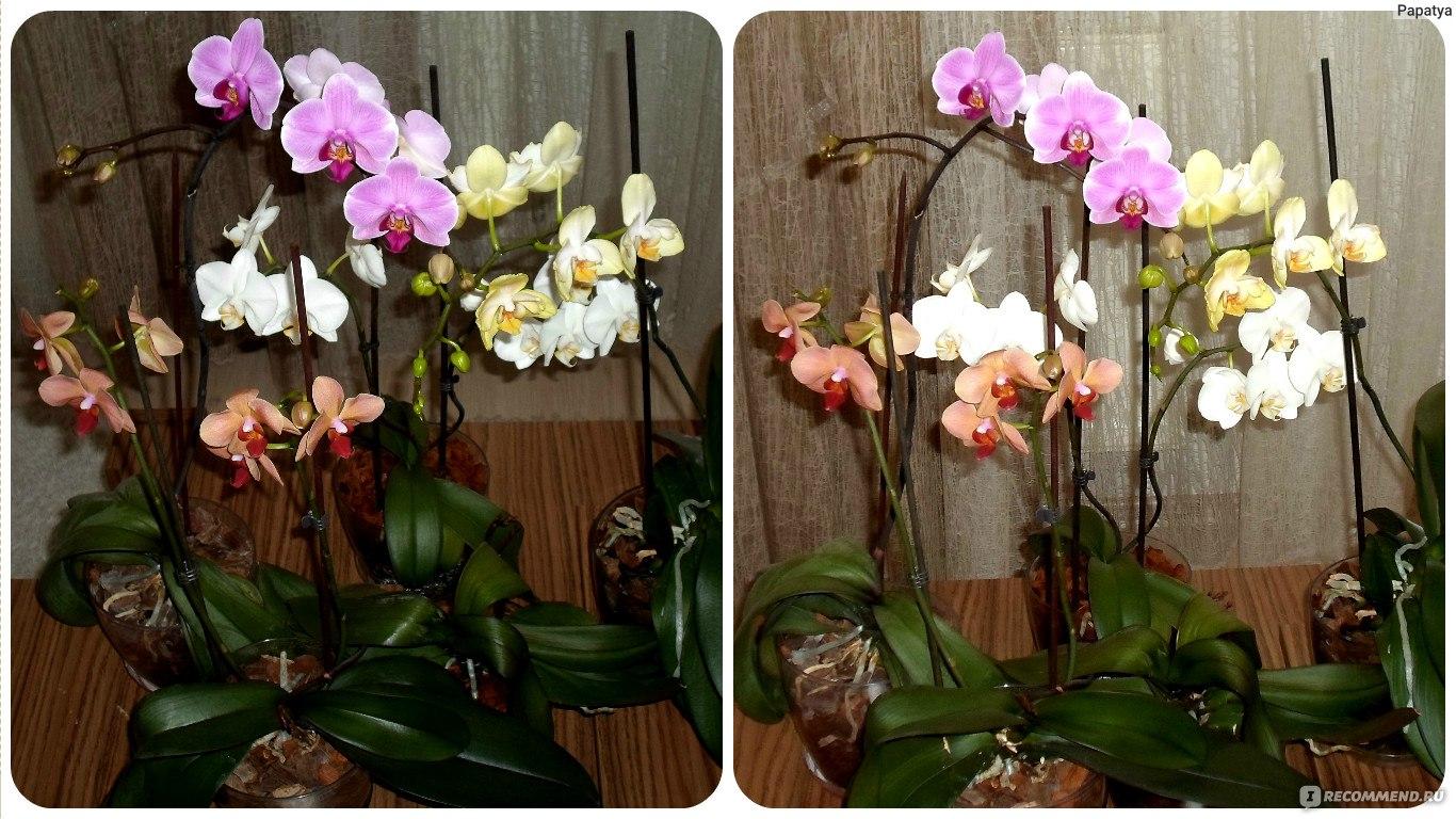 Как цветет орхидея фаленопсис в домашних условиях 230