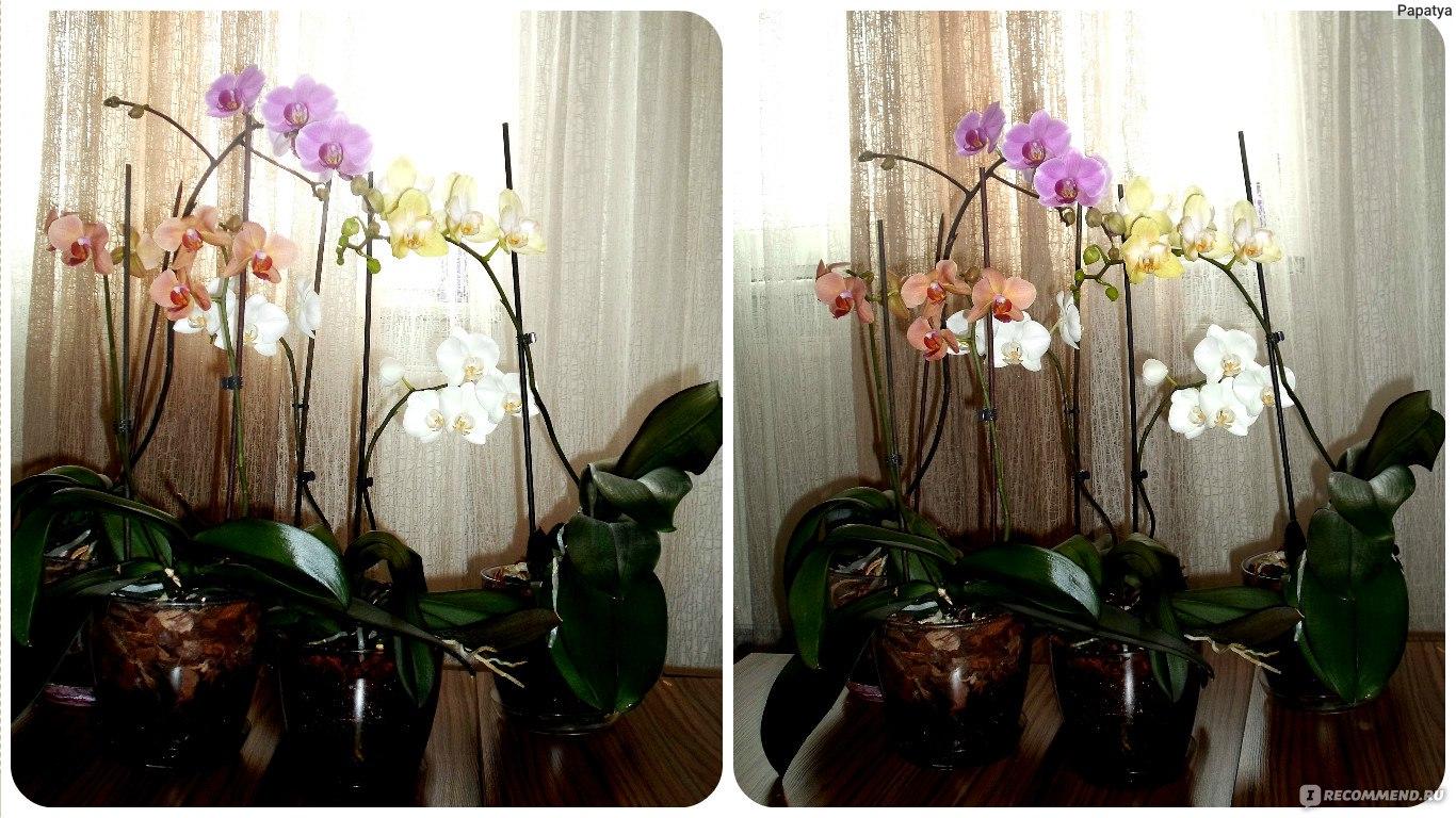 Как цветет орхидея фаленопсис в домашних условиях 404