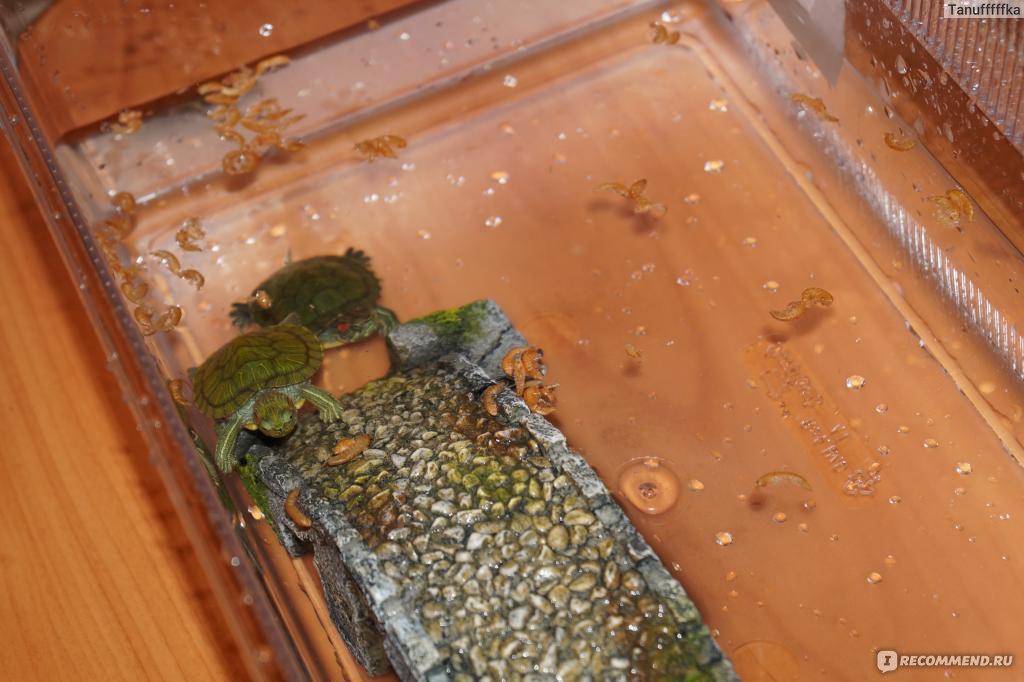 Чем кормят маленькую красноухую черепаху в домашних условиях 525