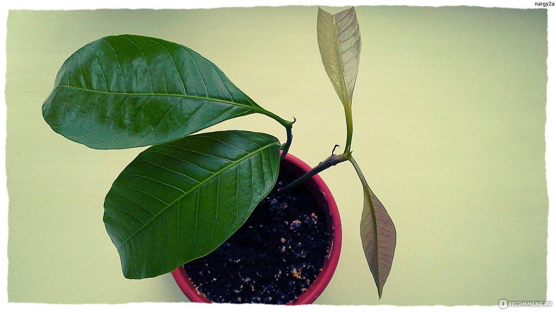 Как сажать манго из косточки фото