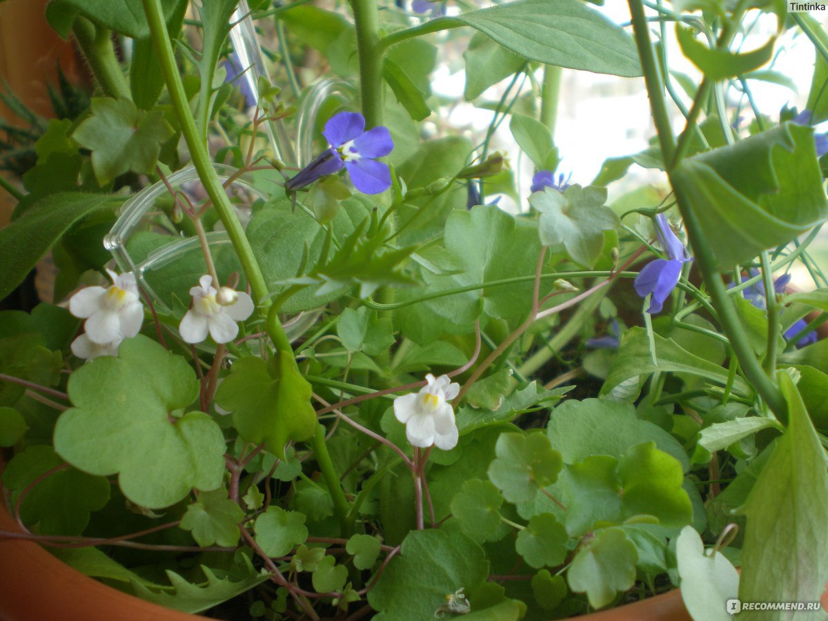 Цимбалярия выращивание из семян 17