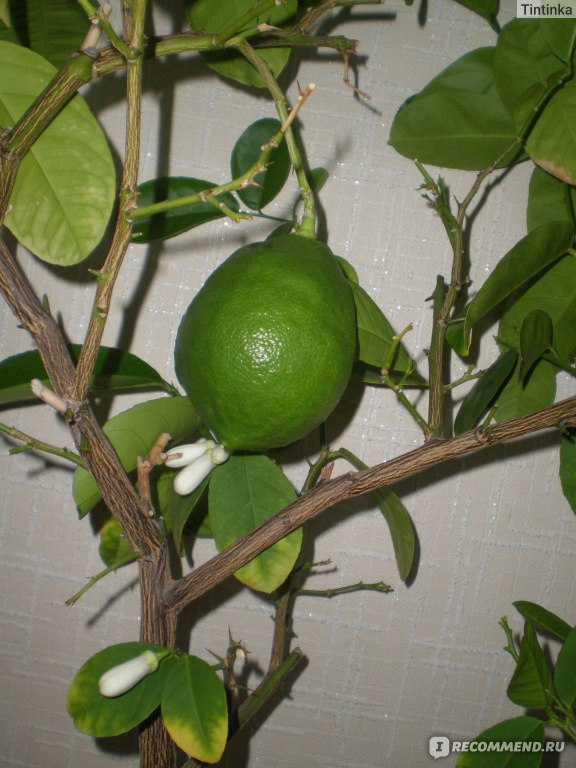 Почему не растет лимон в домашних условиях