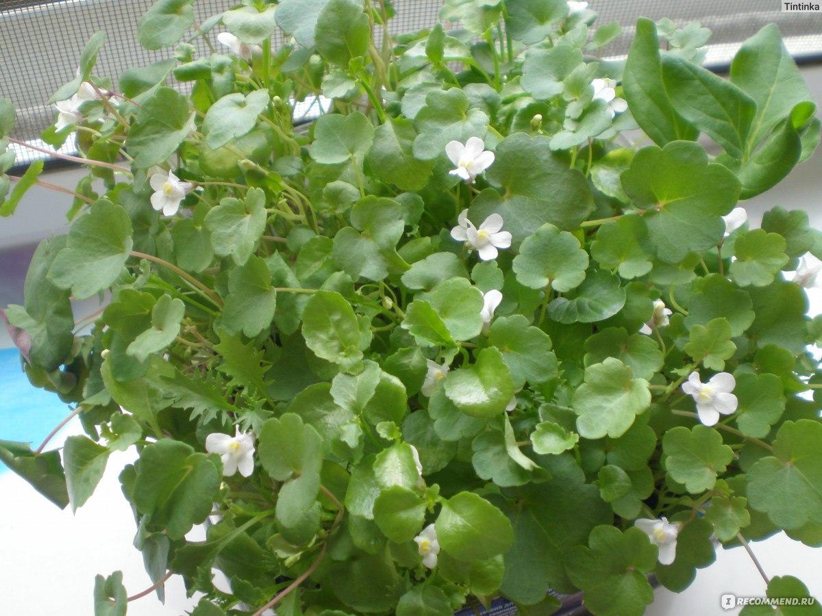 Комнатный цветок цинерария серебристая: фото