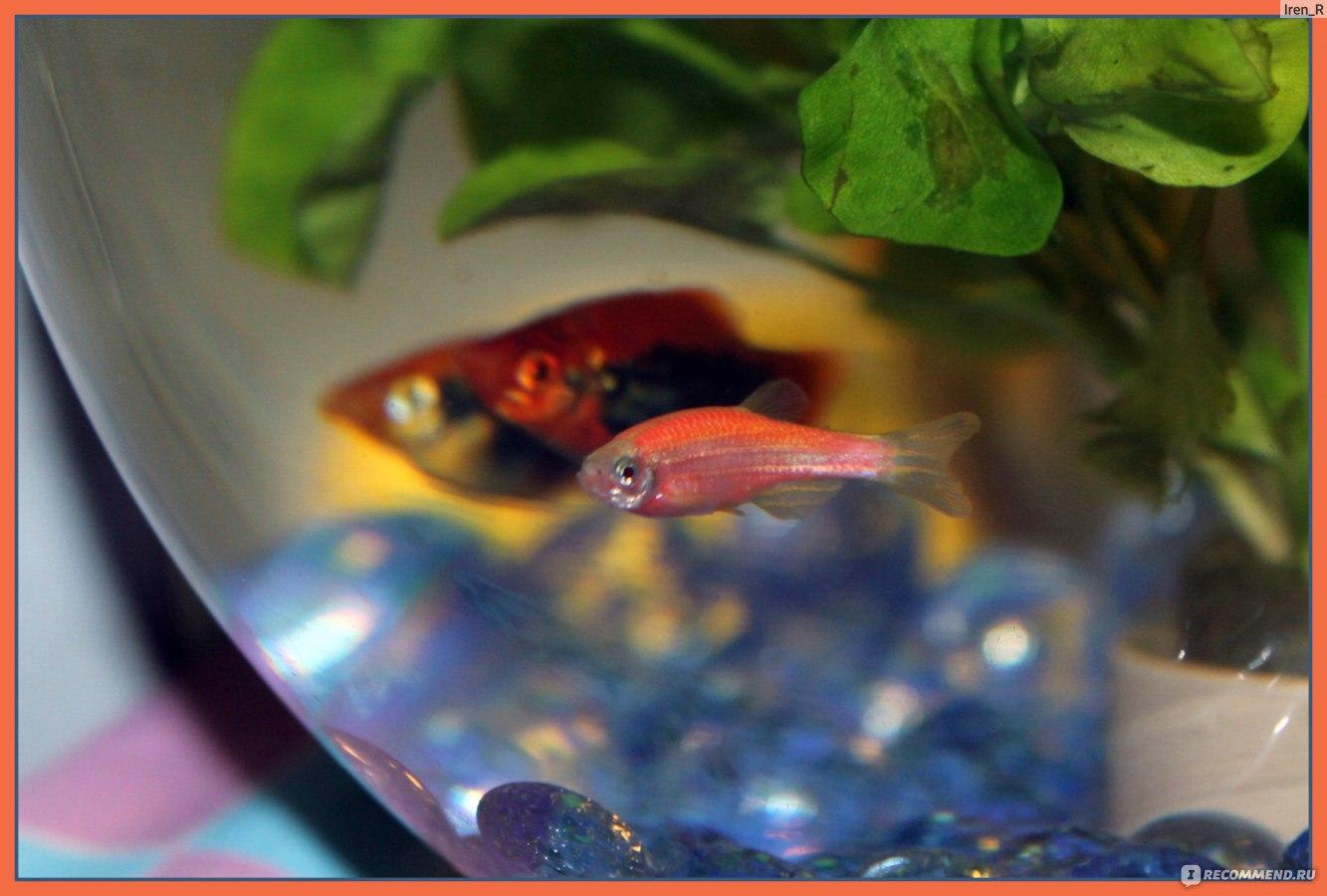 Беременная рыбка данио фото 87