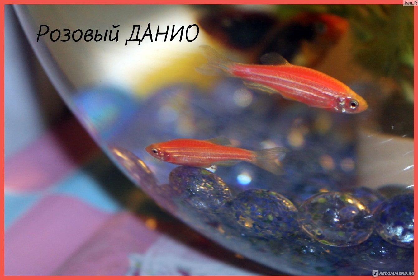 Беременная рыбка данио фото 71