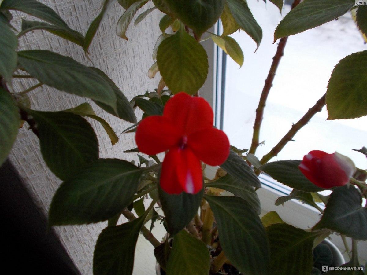 Цветок ванька мокрый - уход в домашних условиях, правильный 84