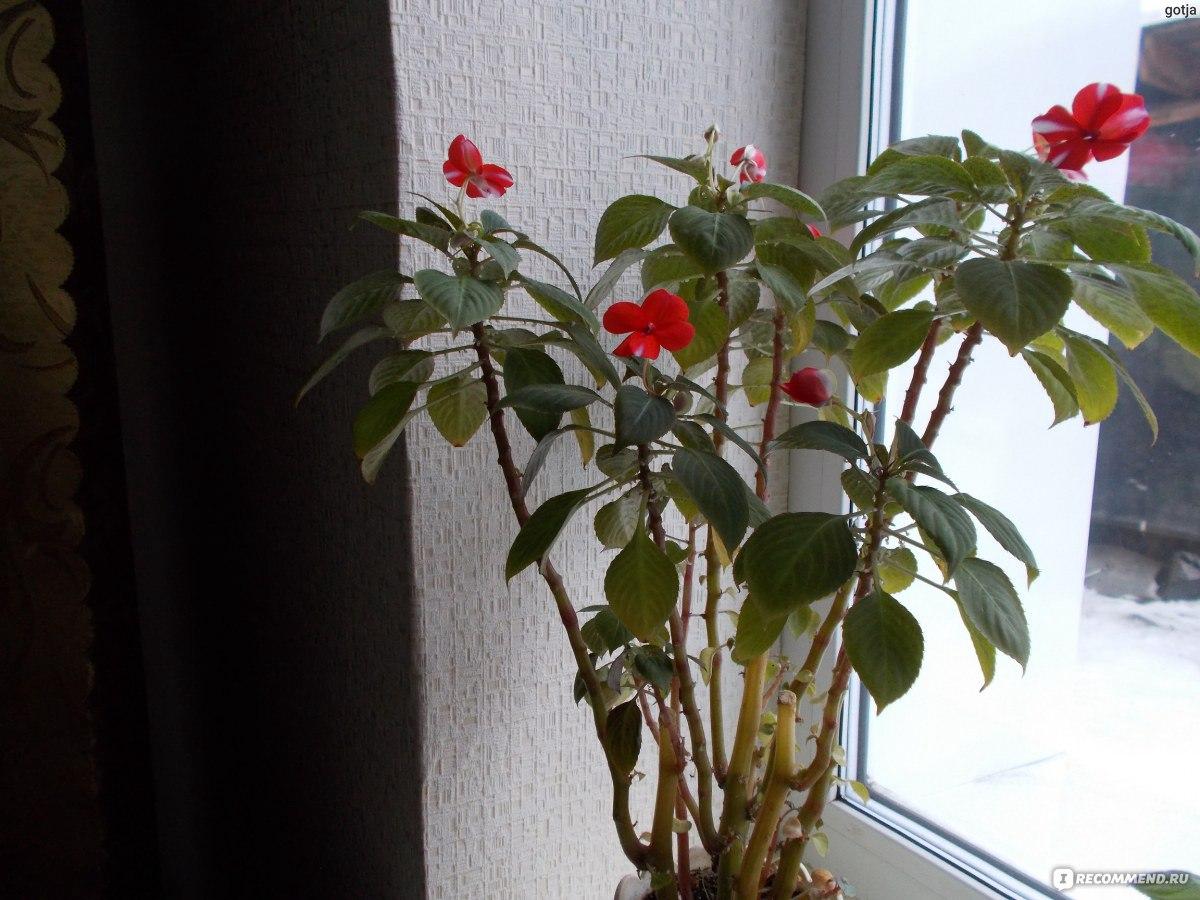 Огонек цветок комнатный уход в домашних условиях фото