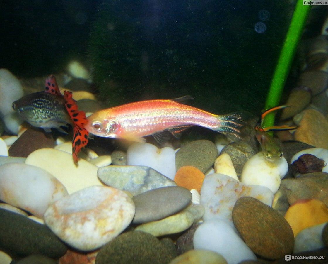 Беременная рыбка данио фото 35