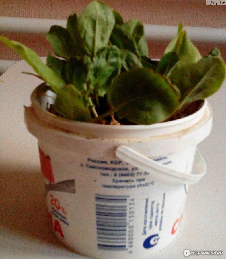 Выращивание щавеля дома 65