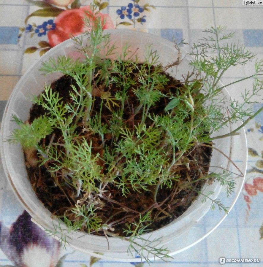 Выращивание укропа в воде 6
