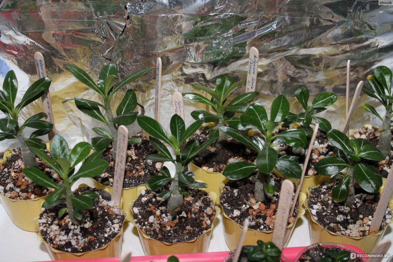 Адениумцветок выращивание 54