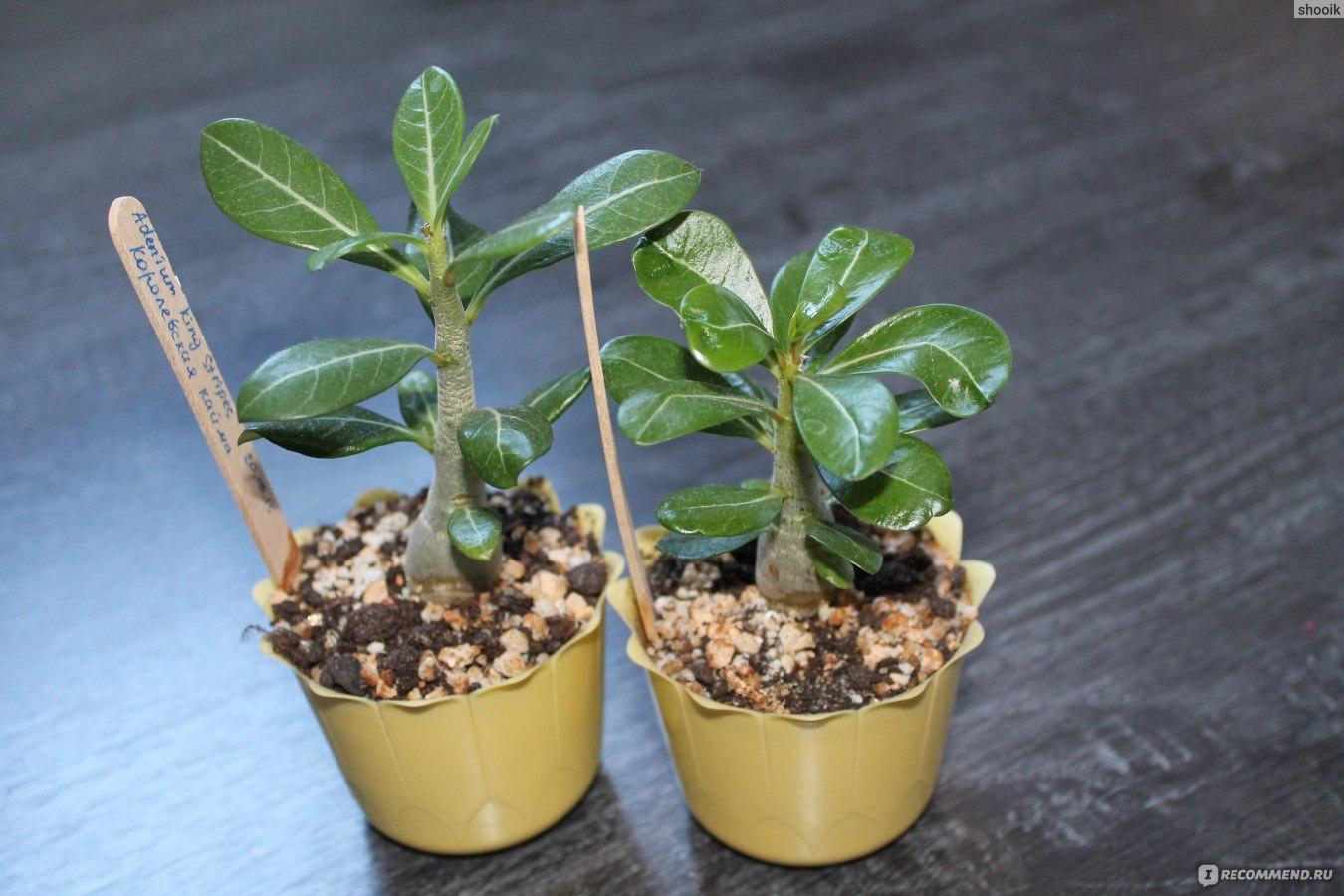 Адениумцветок выращивание 75