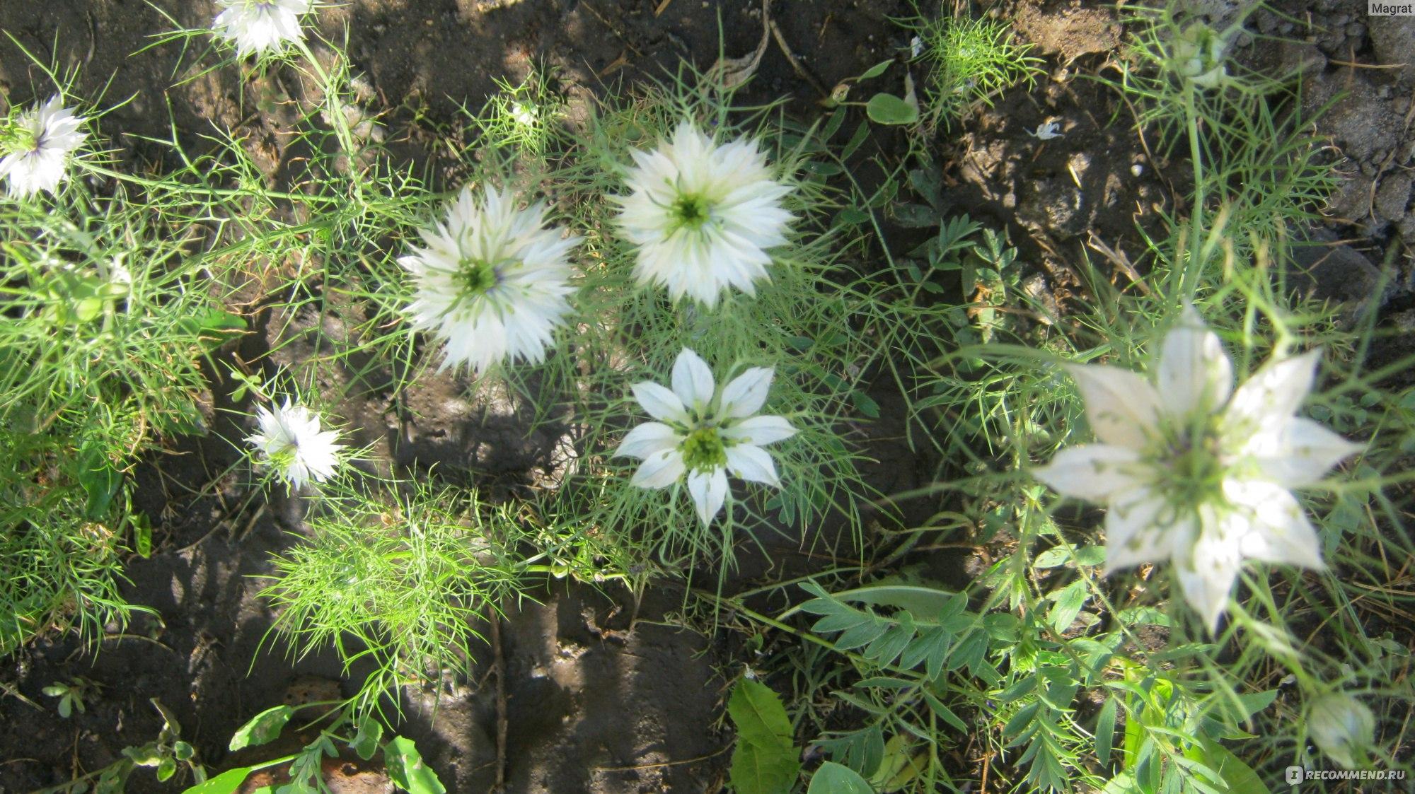 Нигелла дамасская. Выращивание 15
