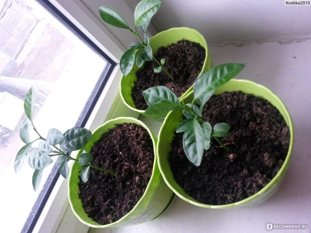 Как вырастить мандарин из косточки выращиваем в домашних условиях 856