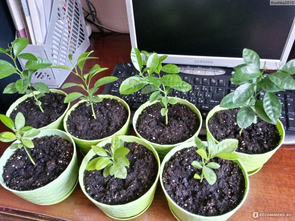 Гогулан выращивание в домашних условиях 75