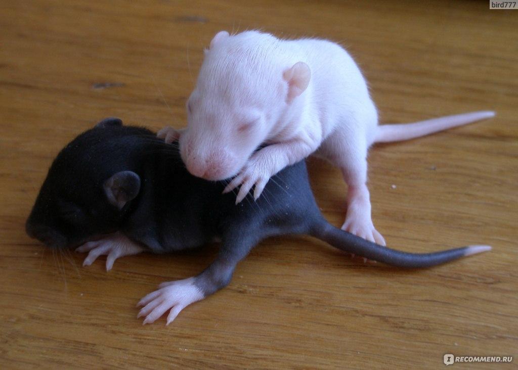 крысята рост фото действием