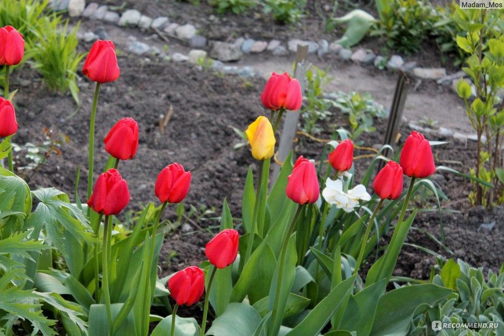 Тюльпан посадка и уход