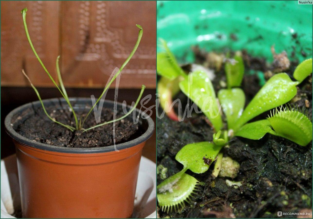 Выращивание хищных растений 37