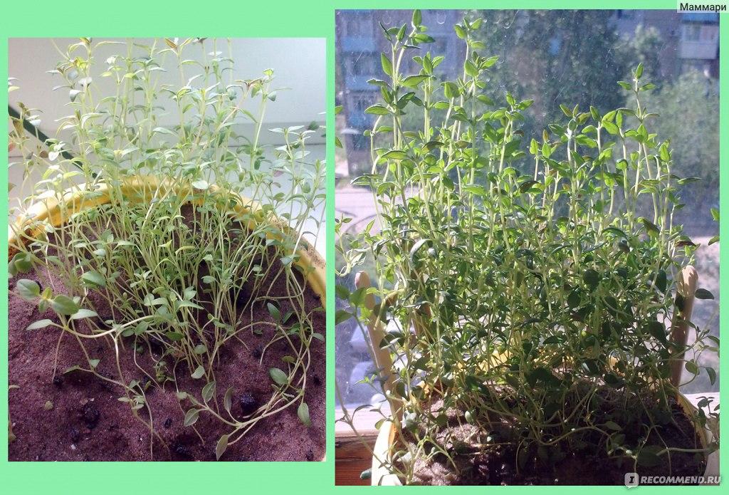 Тимьян выращивание и уход 8