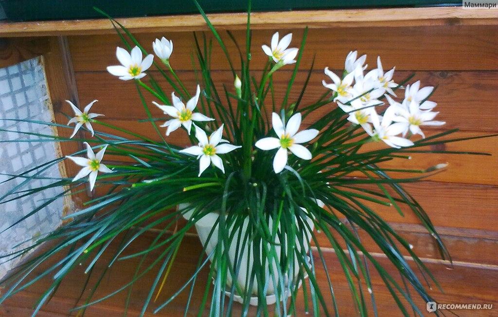 """Зефирантес / Zephyranthes - """"Обильно цветет при хорошей подкормке."""" Отзывы покупателей"""