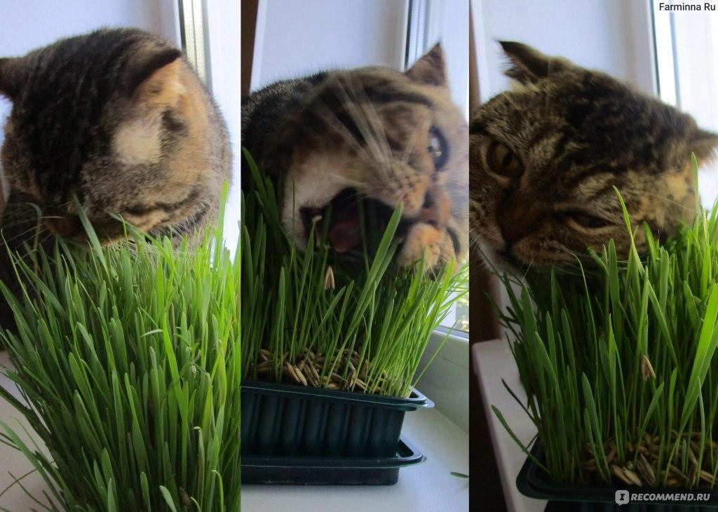 Какую траву сажают для кошек 97