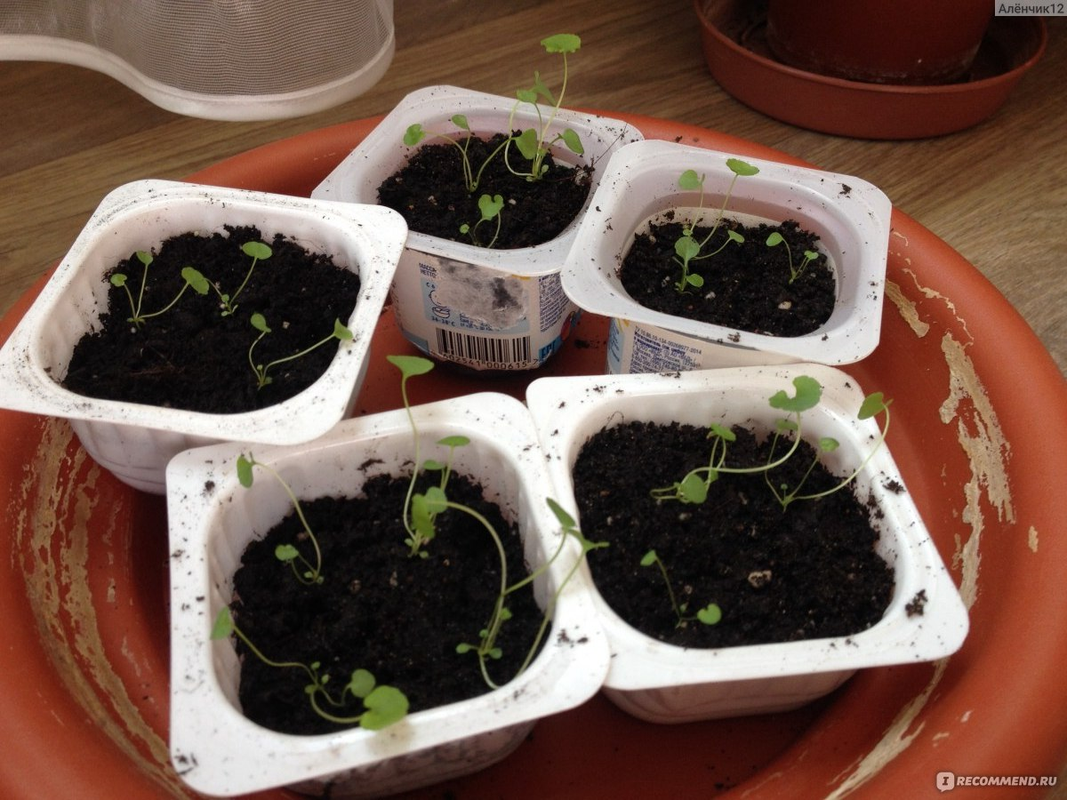 Портулак выращивание из семян фото рассады