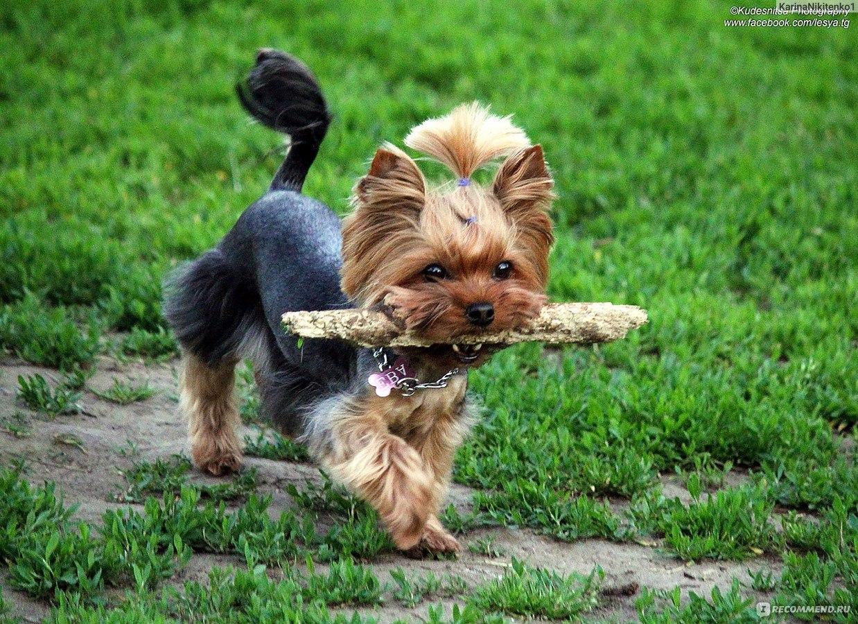 Когда вязать собаку йорка